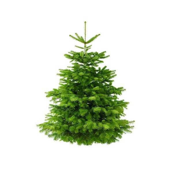 Home Depot Real Christmas Tree Prices: Noble Fir Medium Size